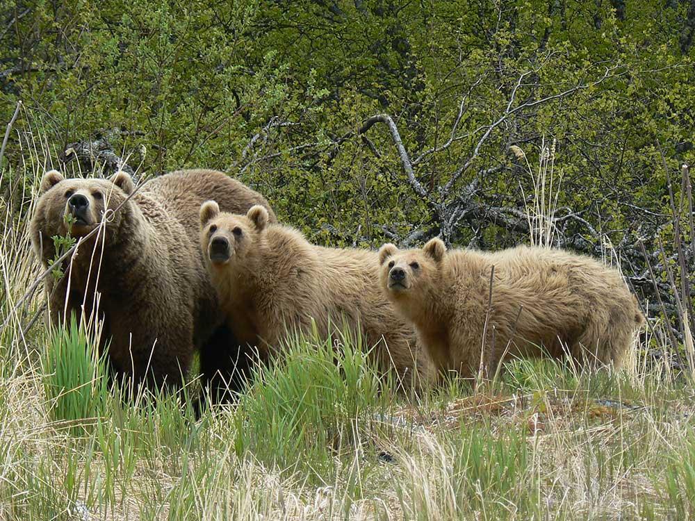 Brown Bears in Alaska