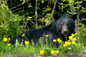 Bear species: Alaskan Black bear sitting in field of dandelions
