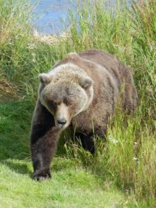 Bear species: Brown or grizzly bear