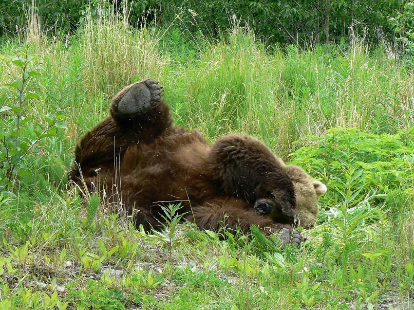 Grizzly bear on Kodiak Island in Alaska