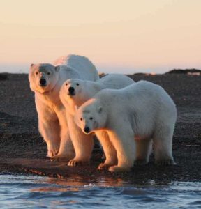 3 polar bears at Kaktovik, Alaska
