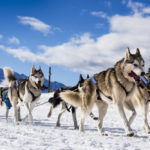 Dog sled team in winter race