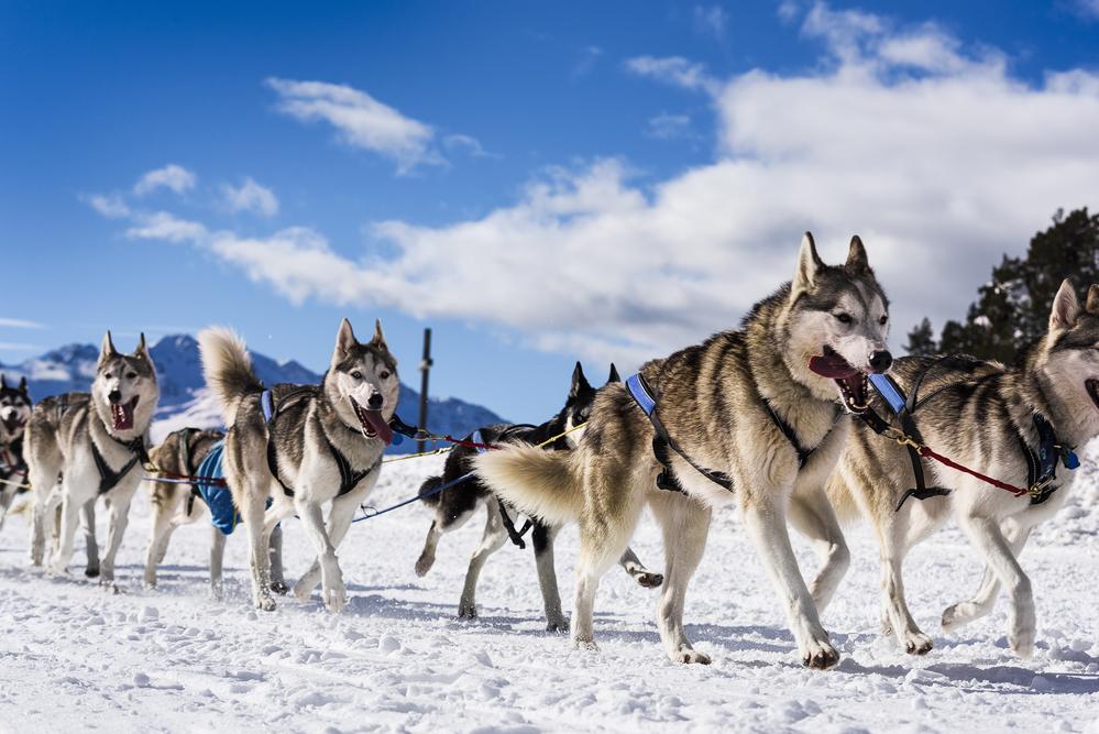Dog sled team in winter race