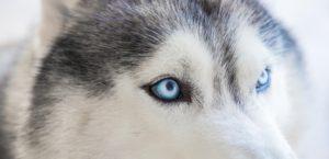 husky sled dog puffin inn blog